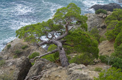 Pine trees on a steep slope above the sea. Stock Photos