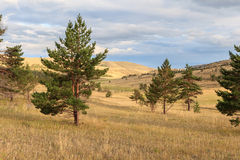 Pine trees in the steppe. Royalty Free Stock Images