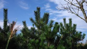 Pine trees at Stone Park in Jeju, Korea.  stock video footage