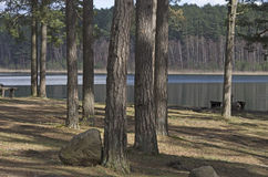 Pine trees and a stone in the shadow near the lake Royalty Free Stock Photography