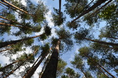 Pine trees stretching to the sky Royalty Free Stock Images