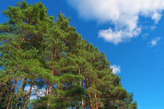 Pine trees on summer day in forest Royalty Free Stock Image