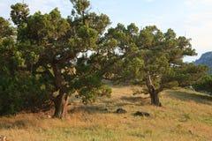 Pine trees on summer mountain hill (Crimea) Royalty Free Stock Photos