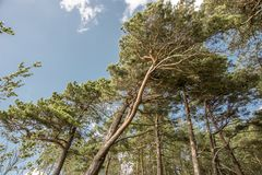 Pine trees by summer Stock Image