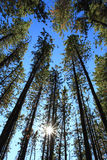 Pine Trees with Sun. Sun shining through Pine Trees Royalty Free Stock Image