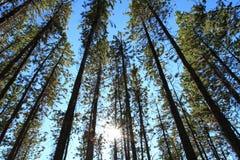 Pine Trees with Sun. Sun shining through Pine Trees Stock Image