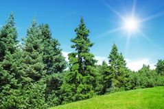 Pine trees and sun on blue sky. Green grass, pine trees and sun on blue sky Stock Photos