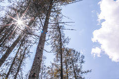 Pine trees in a sunny day. Pine trees in sunny day Royalty Free Stock Photos