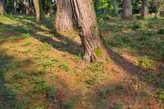 Pine trees at sunny day Stock Photo