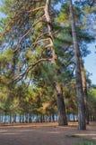 Pine trees at sunny day Stock Photos