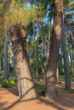 Pine trees at sunny day Stock Images