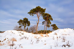 Pine trees in sunny winter landscape Royalty Free Stock Images