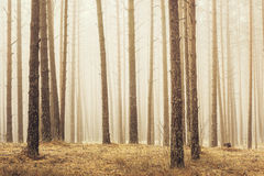 Pine trees. At sunrise in a forest with fog royalty free stock images