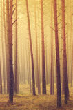 Pine trees. At sunrise in a forest with fog stock photos