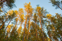 Pine trees. At sunrise in a forest low angle Stock Photos