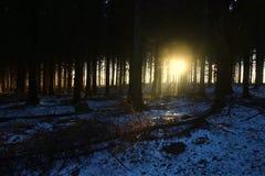 Pine trees at sunrise so lovely Royalty Free Stock Image