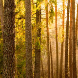 Pine trees in sunset Royalty Free Stock Photo