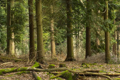Pine Trees. In Surrey Forest, England, UK Royalty Free Stock Photo
