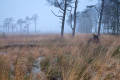 Pine trees on swamp in fog Stock Photos