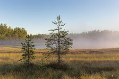 Pine trees in the swamp Royalty Free Stock Photography