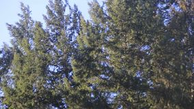 Pine trees swaying in the wind, sky. Pine trees swaying in the wind in early spring stock footage