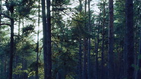 Pine trees swaying in the wind in the forest.