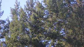 Pine trees swaying in the wind, sky. In early spring stock video footage