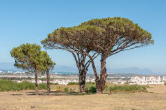 Pine trees with Table Mountain in Cape Town in the background. Pine trees with Somerset West, the Strand, the sea and Table Mountain in Cape Town in the Stock Photos