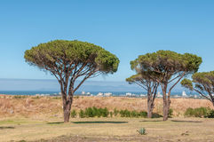 Pine trees with Table Mountain in Cape Town in the background. Pine trees with Somerset West, the Strand, the sea and Table Mountain in Cape Town in the Royalty Free Stock Images