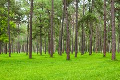 Pine trees, tall green trunks,Beautiful Pine trees and green grass. For nature background stock images
