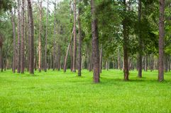 Pine trees, tall green trunks,Beautiful Pine trees and green grass. For nature background stock photos