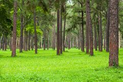 Pine trees, tall green trunks,Beautiful Pine trees and green grass royalty free stock photography