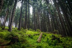 Pine trees in a tall old and wild European forest Royalty Free Stock Photos