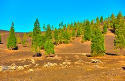 Pine-trees in Teide national park Stock Photo
