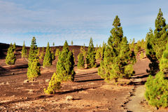 Pine Trees In Teide National Park, Tenerife Royalty Free Stock Photos