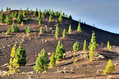 Pine Trees In Teide National Park, Tenerife Stock Photography
