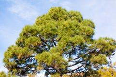 Pine trees at teide, tenerife stock photography