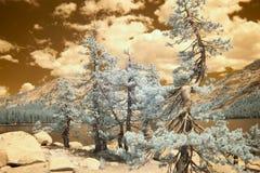 Pine trees, Tenaya Lake, Yellowstone National Park in infrared Stock Photos