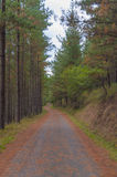Pine trees in th forest. Road covered on dry leaves Royalty Free Stock Images