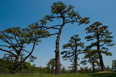 Pine Trees at the Tokyo Imperial Garden Royalty Free Stock Photo