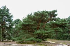 Pine trees and trails in nature reserve Fischbeker heath. Stock Photos
