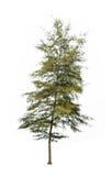 Pine trees tropics isolated on white background Royalty Free Stock Photo