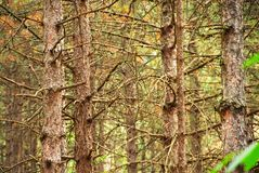 Pine trees trunk background Royalty Free Stock Photo