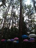 Pine trees and umbrella Royalty Free Stock Photography