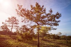 Pine trees under the blue sky.  Royalty Free Stock Photography