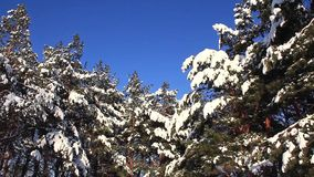 Pine-trees under snow stock video footage