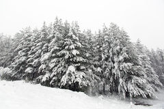 Pine trees under the snow Stock Photography
