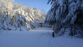 Pine trees under snow burden after storm in New England stock images