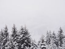 Pine trees under snow royalty free stock photography