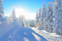 Pine trees under the snow on mountain Stock Photos